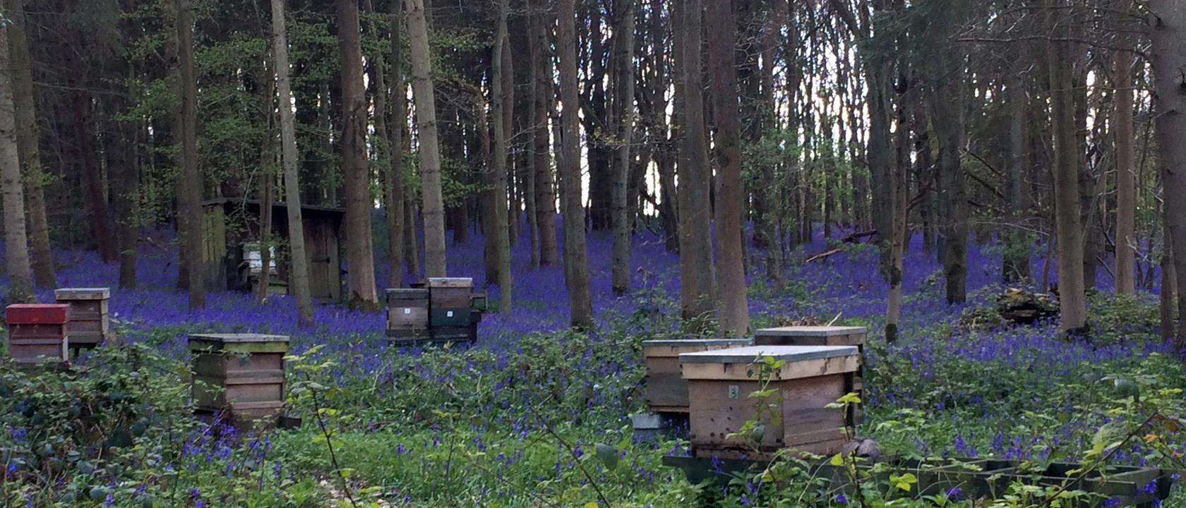 Barrwood Apiary Bluebells